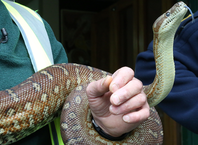 Image of corrective services staff handling a snake- python